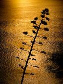 foto of fynbos  - Aloe flower back lit by ocean sunset - JPG