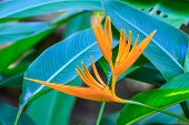 image of bird paradise  - Bird of Paradise flower flower from tropical forest - JPG