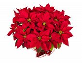 image of poinsettia  - Red poinsettia  - JPG