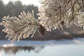 foto of paysage  - ordinary wild grow pine with cone covering rime - JPG