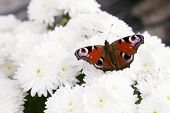 stock photo of spread wings  - A close up of a colorful butterfly with spread wings resting on a white flower - JPG