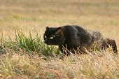 foto of sneak  - A black cat with a damaged ear sneaking in the grass on a meadow - JPG