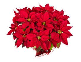 stock photo of poinsettia  - Red poinsettia  - JPG