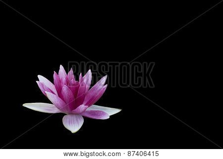 Black & pink Water Lily lotus flower background