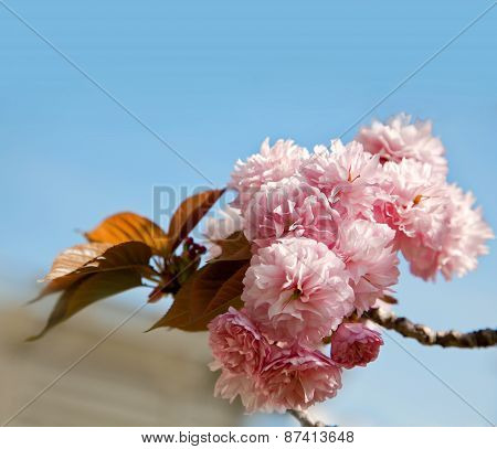 Beautiful cherry tree flowers, Pink bloom, spring flowers background, Spring Cherry blossoms