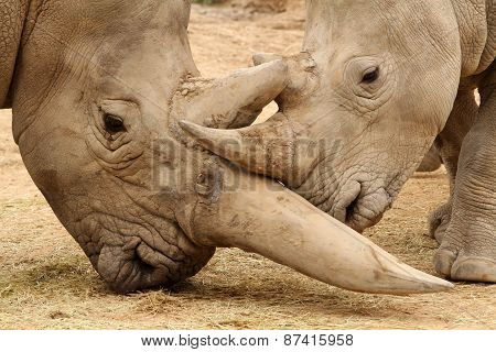 White Rhinoceros Battle 3
