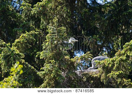 Great blue heron in tree with nest