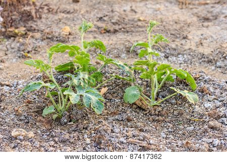 Watermelon Plant In A Vegetable Garden