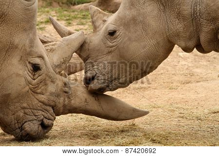 White Rhinoceros Battle 14