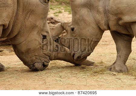 White Rhinoceros Battle 15