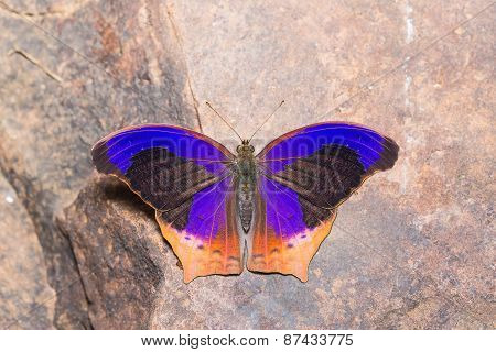 Great Assyrian Butterfly
