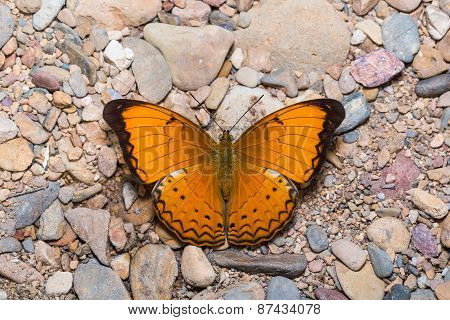 Large Yeoman Butterfly