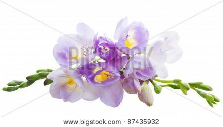 freesia  flowers
