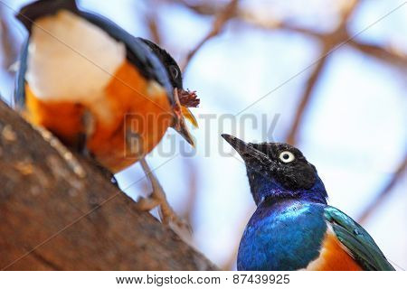 Couple Of Superb Starling Feeding On A Tree