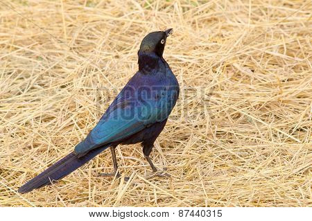 Cape Starling At The Ground