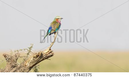 Lilac-breasted Roller On The Grass