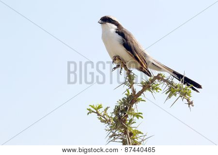 Northern White-crowned Shrikes Perched On A Sprig