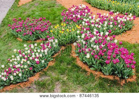 Flowerbed Of Tulips In A Flower Shape