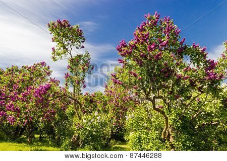Lilac Bushes And Trees