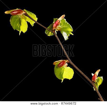Tree Twig In Spring