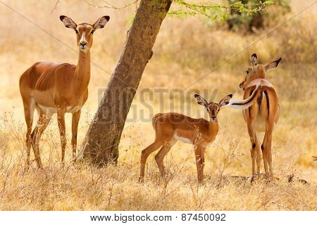 Female Impalas