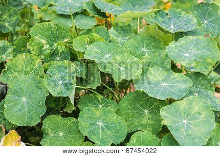 Closeup Plant Green Nasturtium