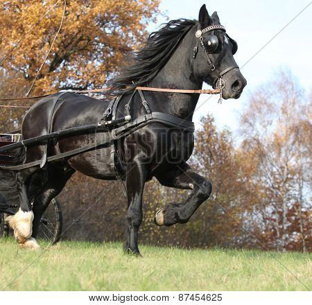 Gorgeous Welsh Cob Running In Autumn, Harness Up
