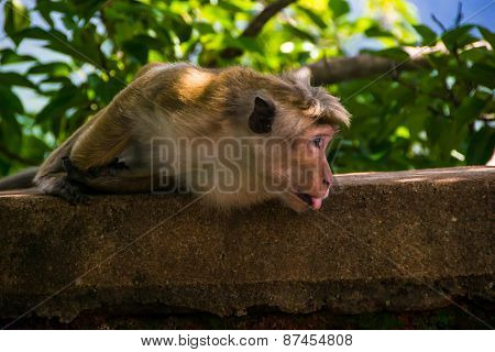 Monkey Stick Out Tongue In Sigiriya, Sri Lanka