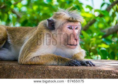 Monkey Is Lying Outdoor In Sigiriya, Sri Lanka, Horizontal