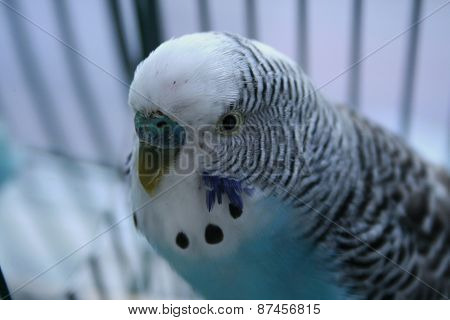 Parakeet with a happy look on his face