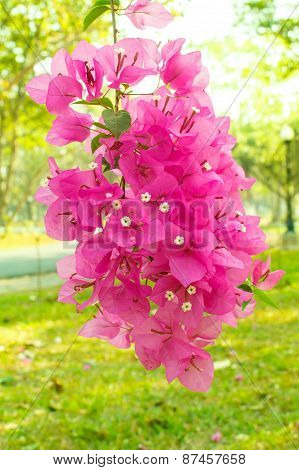 Bougainvillea And Blur Natural Background.