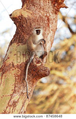 Vervet Monkey On A Tree
