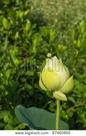 white lotus bud with the leaf