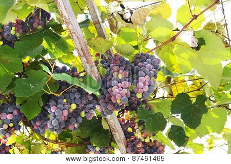 Ripening vines, view from below