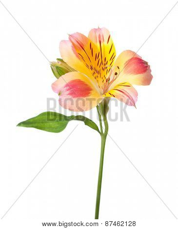 Alstroemeria flower isolated on white background.