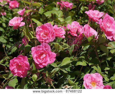 Fresh beautiful roses