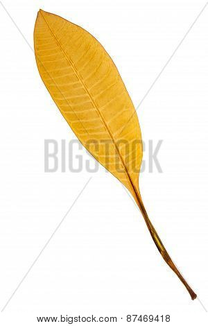 Beautiful Golden Leaf