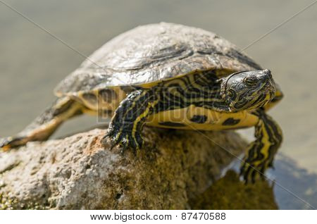 Freshwater Turtle Basking In The Sun