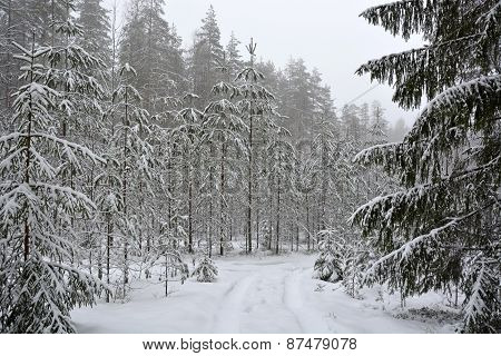 Winter Forest With Different Trees And Snowmobile Tracks