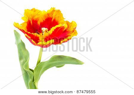 Parrot Tulips Isolated On White