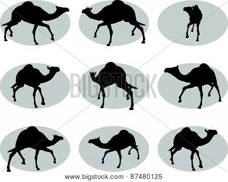 Camel In Trotting Pose