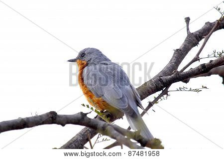 Robin Perched On A Branch On A White Background