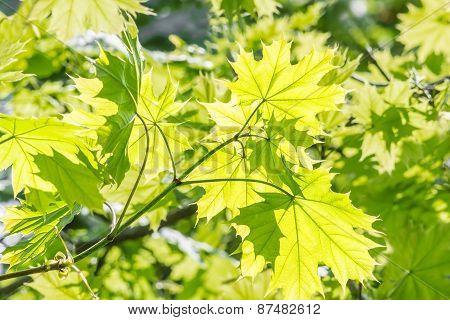 Green Maple Leaves Macro, Backlit