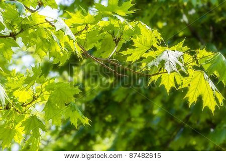 Green Maple Leaves Close Up