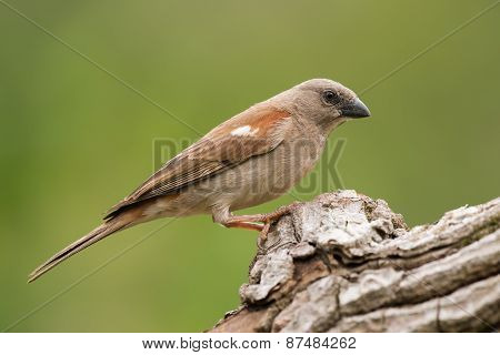 Southern Grey-headed Sparrow (passer Diffusus) Perched On A Log