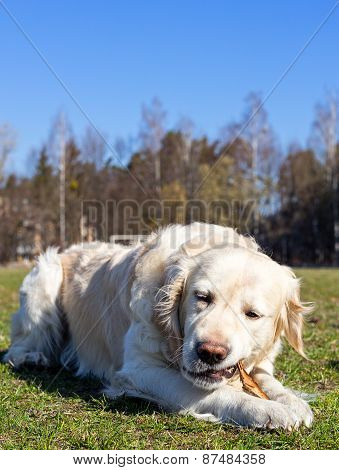 Golden Retriever gnaws the stick.