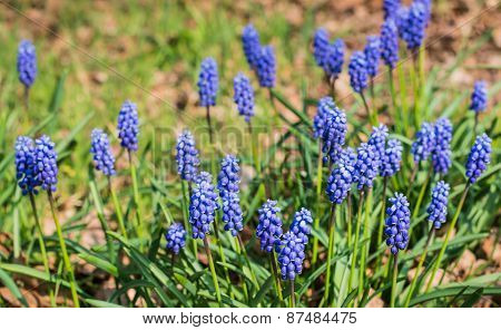 Blooming Grape Hyacinths In A Dutch Forest