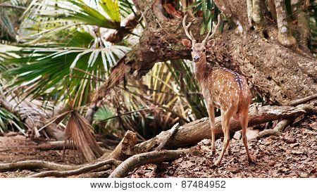Wild Deer On The Tropical Forest Background