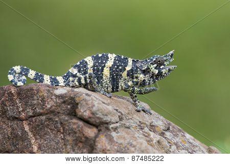 Melleri's Chameleon (chameleo Melleri) Posing On A Rock