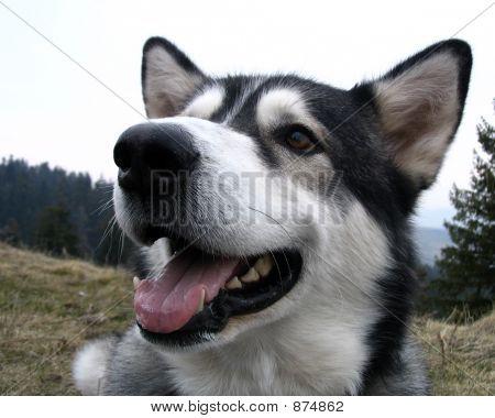 Close Up Of An Alaskan Malamute Dog